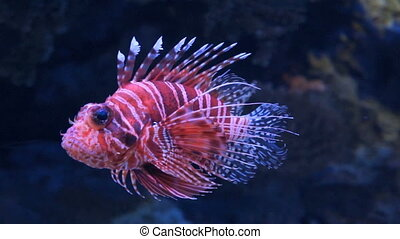 Lion fish  in aquarium with blue background.