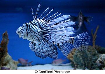Lion Fish in the aquarium with corals