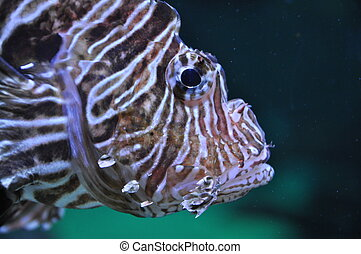 Lion fish in the water