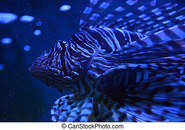 Lion Fish - Lion fish in aquarium