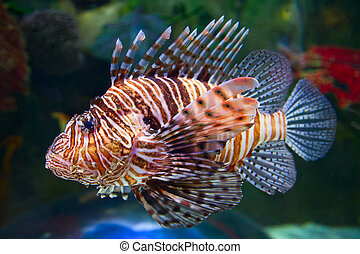 Lion fish one of the most venomous sea creatures