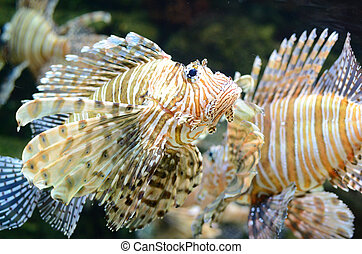 Lion Fish (Pterois) - A lion fish swimming along.