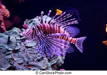 Lion fish (Pterois volitans)