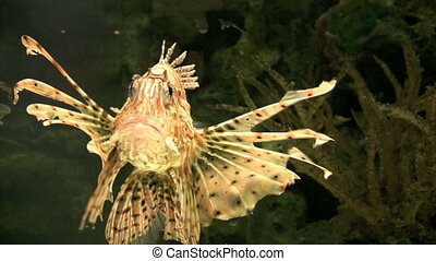lion fish - close up of lion fish