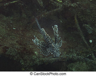 Lion fish - Underwater shot of a lion fish viewed from the ...