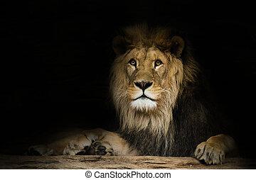 lion, fixe, regard