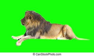 Lion footage, green screen.