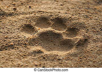 Lion footprint - A lion's footprint in the soft sand