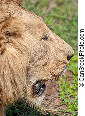 Lion from side