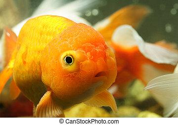 Lion head goldfish - A close up of a lion head goldfish