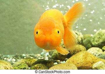 Lion head goldfish - A lion head goldfish inside an aquarium