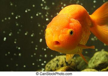 Lion head goldfish - A macro shot of a lion head goldfish