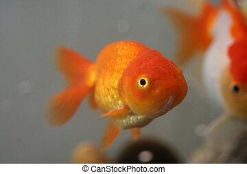 Lion head goldfish, close-up