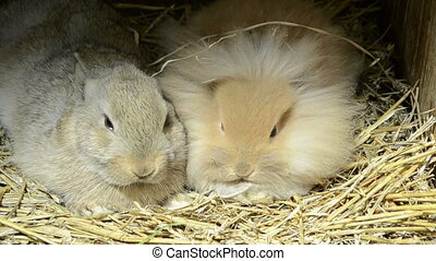 lion head rabbit and brown rabbit - why some rabbits are...