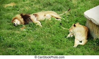 lion, herbe, couple, délassant