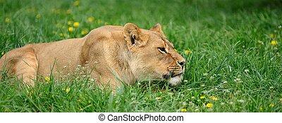 lion, herbe, vert