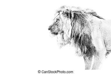 Lion hunting high key black and white walking