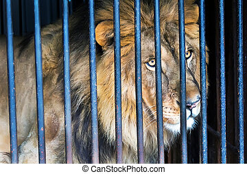 Lion in a cage zoo - Lonely wild cat lion in a cage zoo
