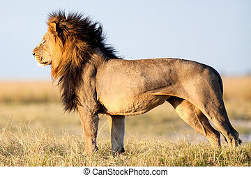 Lion in African savanna