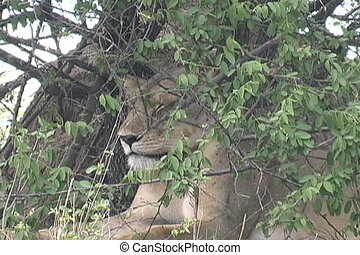 Lion in bush