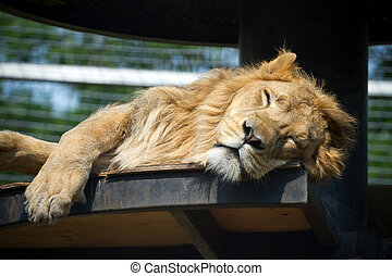 Lion in captivity - Sleeping lion in captivity