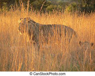 Lion in Golden Grass