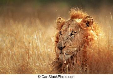 Lion in grassland - Big male lion lying in dense grassland -...