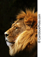 Lion in profile. - A lion's profile with a dark background.