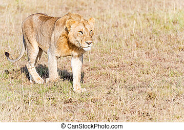 Lion in Serengeti