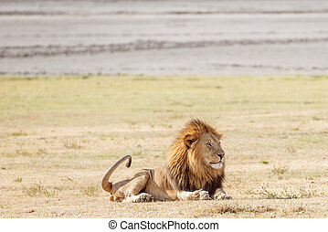 Lion  in Serengeti National Park in Tanzania.
