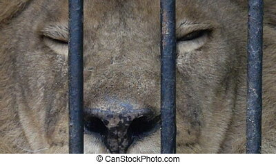 Lion in the cage. Super slow motion 1000 fps