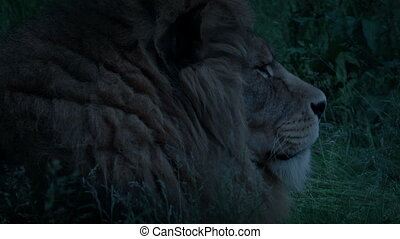 Lion In The Grass At Dusk