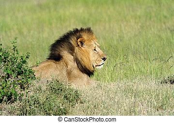 Lion in the grass of Masai Mara, Kenya
