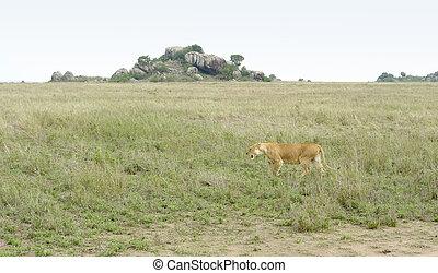 Lion in the Serengeti