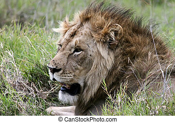 Lion in the Serengeti - Side profile close up of lion in the...