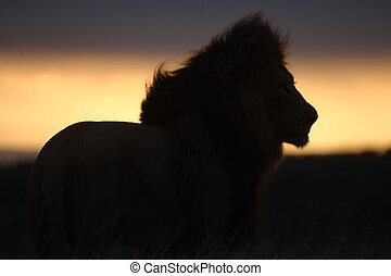 Lion in the Sunset