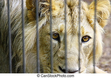 Lion in the Zoo