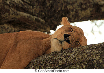 Lioness (Panthera Leo) Napping in a Tree, Serengeti, Tanzania