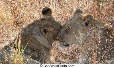 Lion interaction