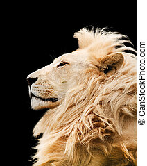 Lion isolated against a black background. Clipping path ...