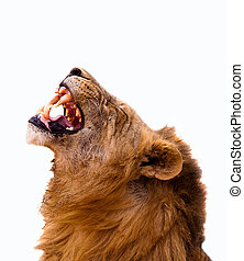 Lion Isolated on a white background - Lion displaying teeth...