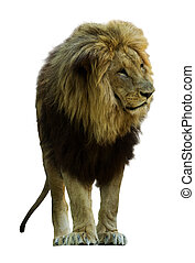 lion. Isolated  on white