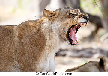 Lion Jaws - Okavango Delta - Moremi N.P.