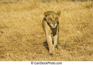 lion, jeune