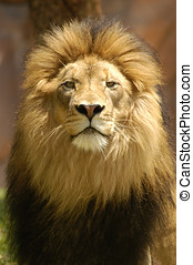 Lion King - A lion king in his prime looking over his...