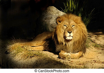 The king of all lions rests near his den.