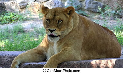 Lion Lies Near a Stone Wall Covered With Greenary
