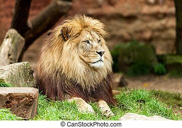 lion lies on grass