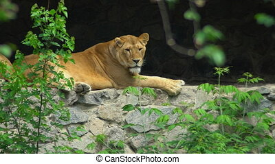 Lion lies on the rocks in the zoo.
