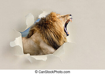 Lion looking through a hole torn the paper - Lion looking...